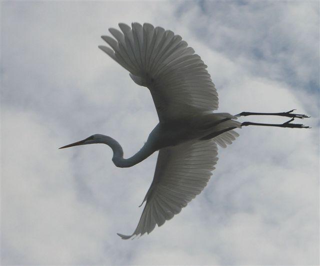 egretfliescrop