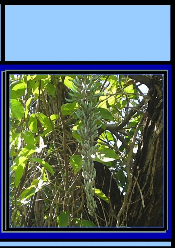 jade-vine-crop-POST2