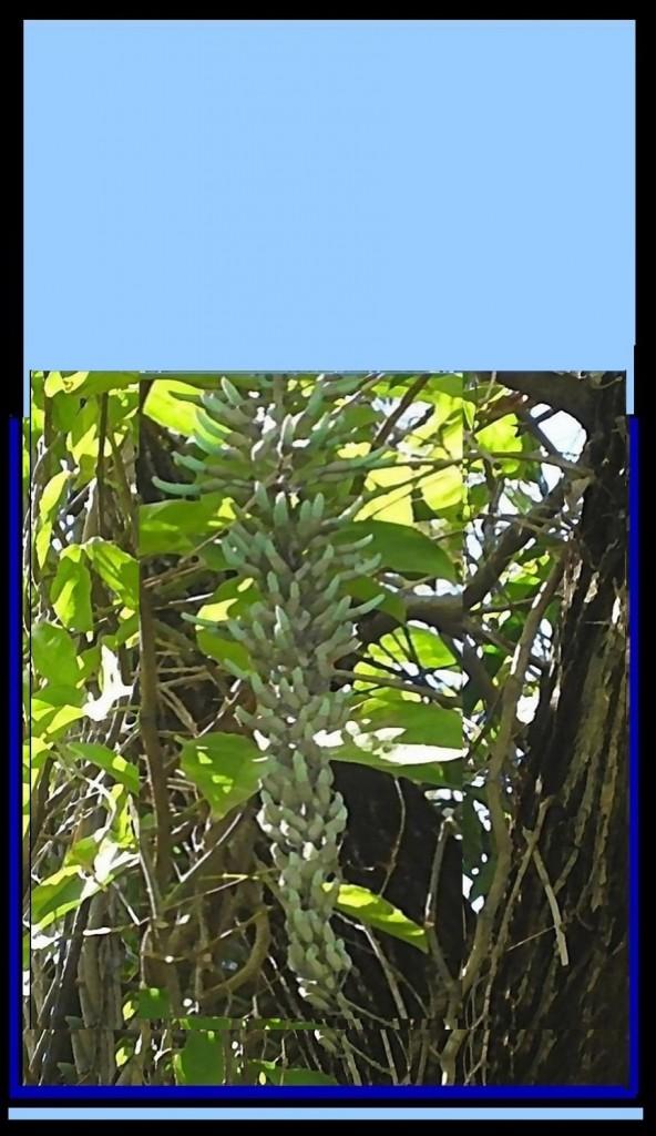 jade-vine-crop-POST2